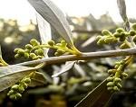 Bunga pohon zaitun