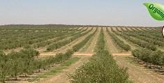 olive-farm2
