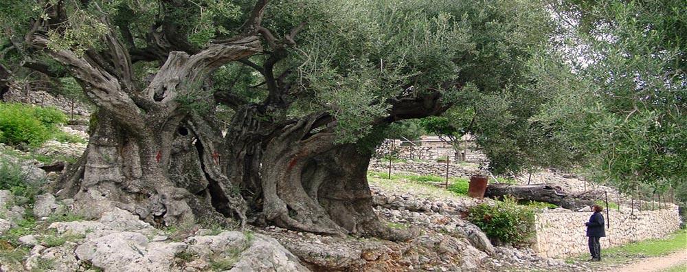 Pohon Zaitun Sangat Tua